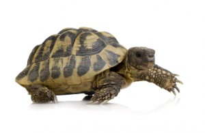 Tortoise representing slow page load speed